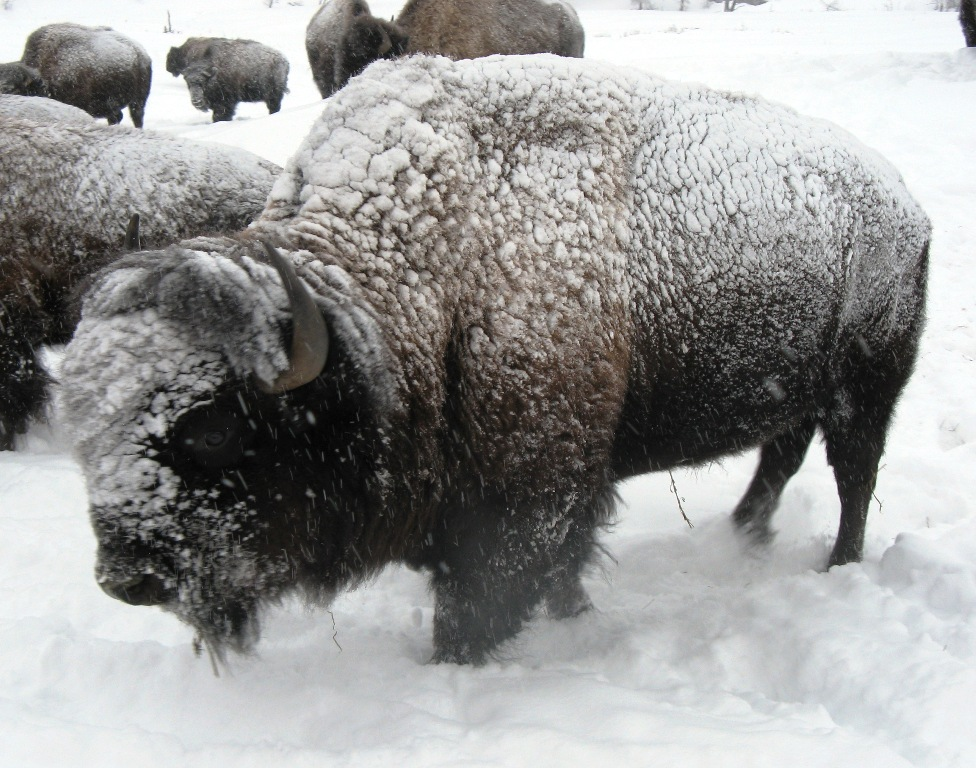 A Bison Eats Buffalo for the...
